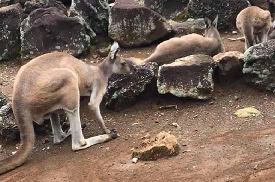 伊豆シャボテン公園のカンガルー