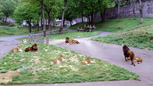 tama_zoo_lion