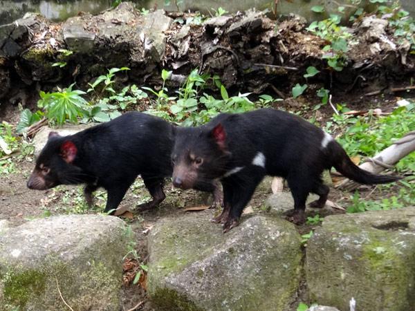 tama_zoo_tasmanian_devil
