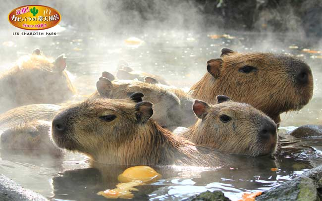 shaboten-kapibara