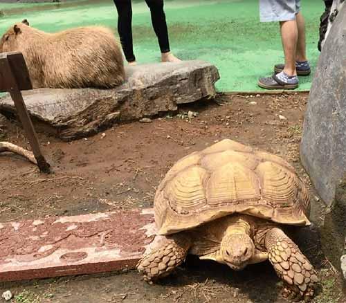 伊豆シャボテン公園、カピバラと亀