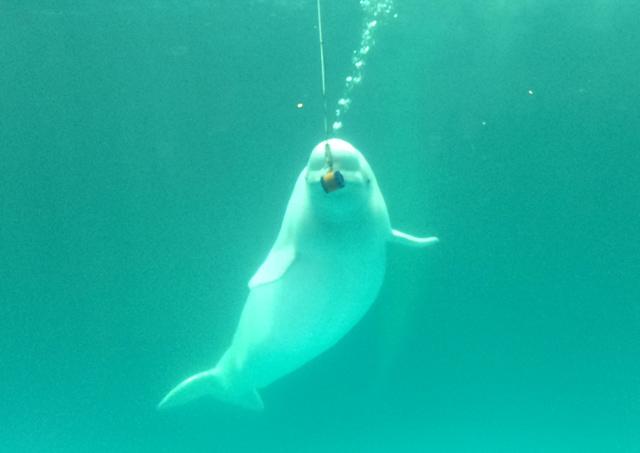 kamogawa-seaworld-beluga-sing