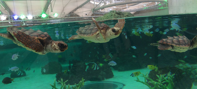 kamogawa-seaworld-small-turtle